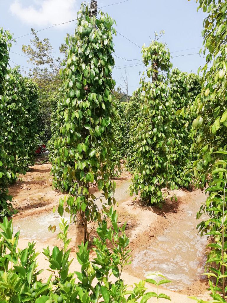Pepřové plantáže Phu Quoc
